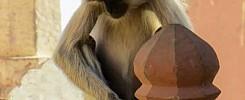 India_122512_Meg_Hauge_monkey_goodphoto