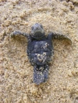 Costa Rica Sea Turtle Rescue